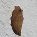 Iphiclides feisthamelii chrysalis (Iberian Scarce Swallowtail) by Simon in the Alpujarras