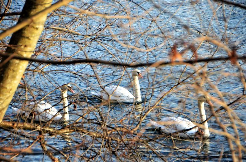 Swans 26.01.2019