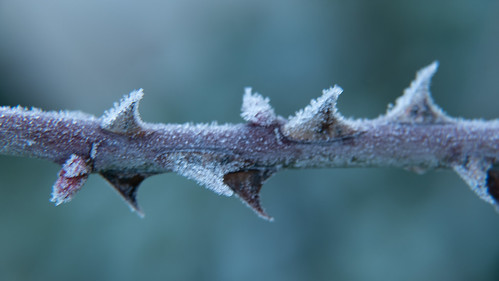 Frost crystals on a rose branch