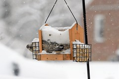 House sparrow and chickadee at feeder