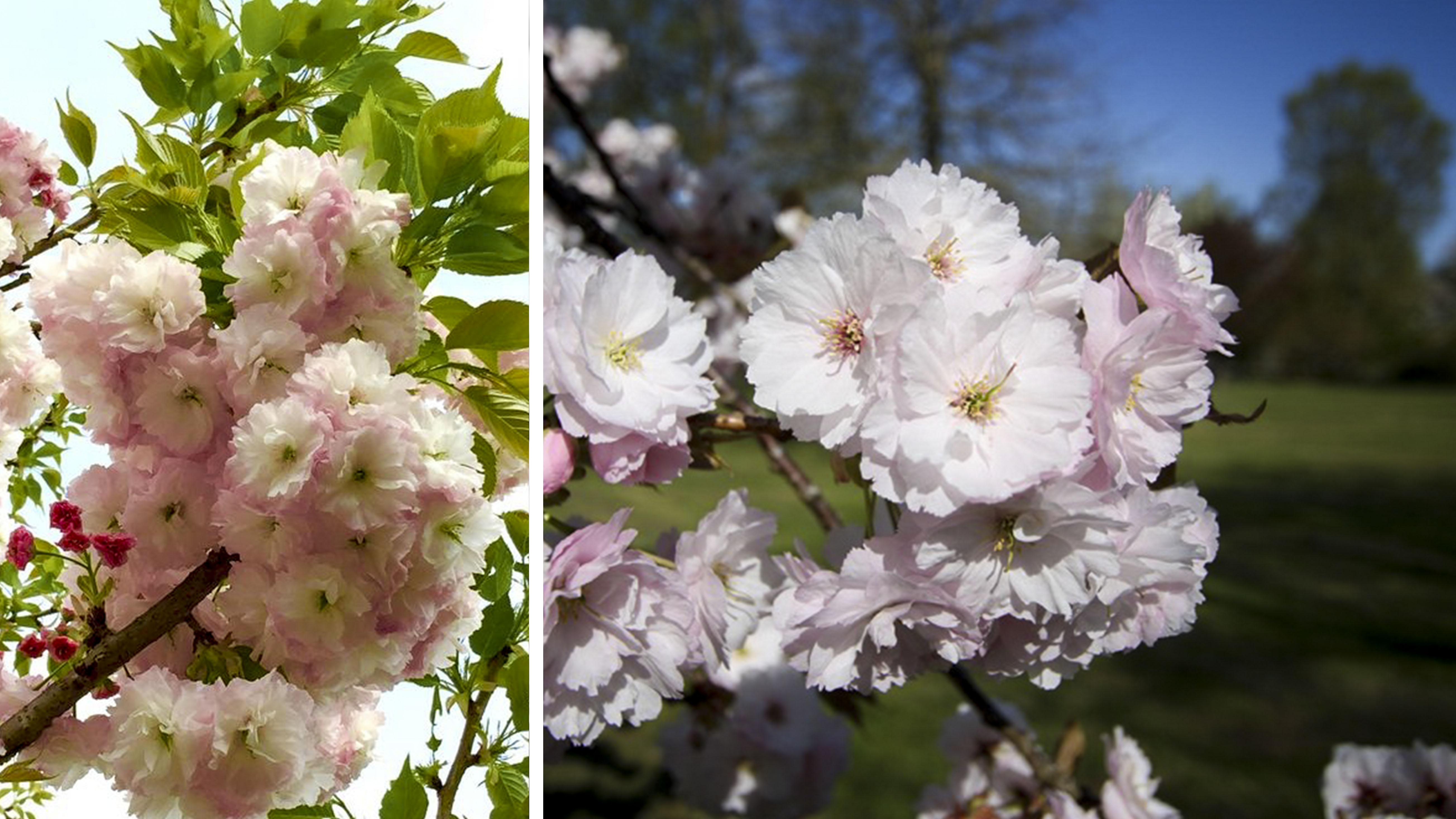 ichiyo-sakura đặc biệt