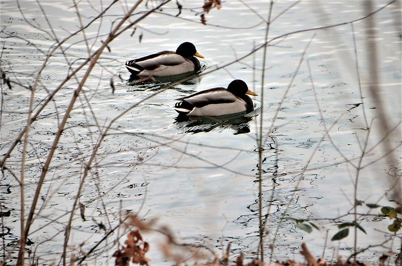 Ducks 23.01 (1)