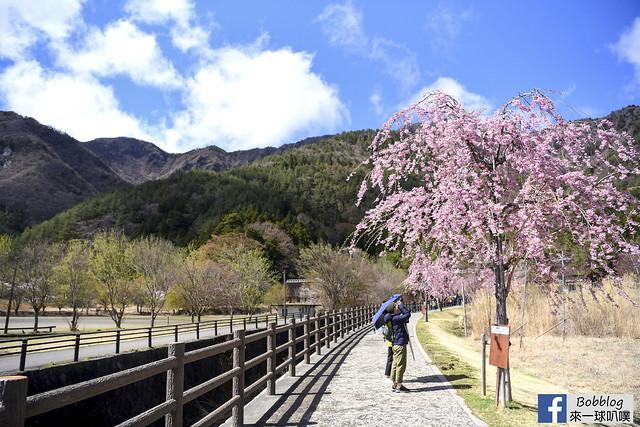 西湖療癒之鄉根場櫻花-6