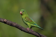 Orange-chinned Parakeet (Brotogeris jugularis) Caño Negro, Alajuela Province, Costa Rica 2017