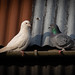 A Dove and Feral Pigeon