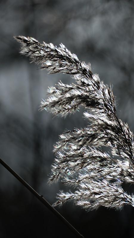 Shades of grey: backlit reed seed head