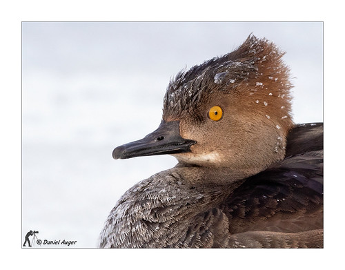 Harle couronné / Hooded Merganser