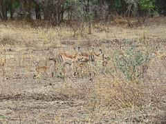 impala; s luangwa natl prk