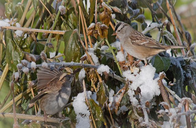 Two hungry sparrows