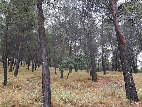 Pine Tree Sierras Subbéticas Spain Andalusia Provincia de Córdoba © Pinie Naturpark Spanien Andalusien © Parque Natural España Andalucía ©