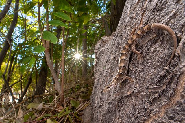 Panamint Alligator Lizard (Elgaria panamintina)