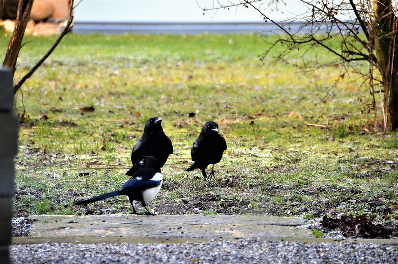 Crows and Magpie 03.01.2019