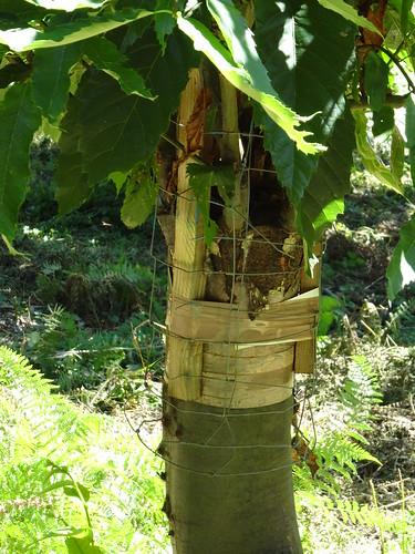 2018-08-15 - Ardèche, Rando autour de Saint-Privas (19), Greffe de chataîgnier