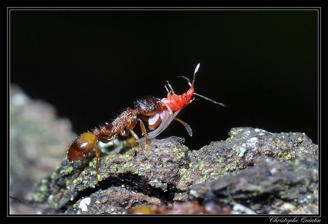 Temnothorax unifasciatus