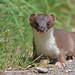 Stoat by KHR Images