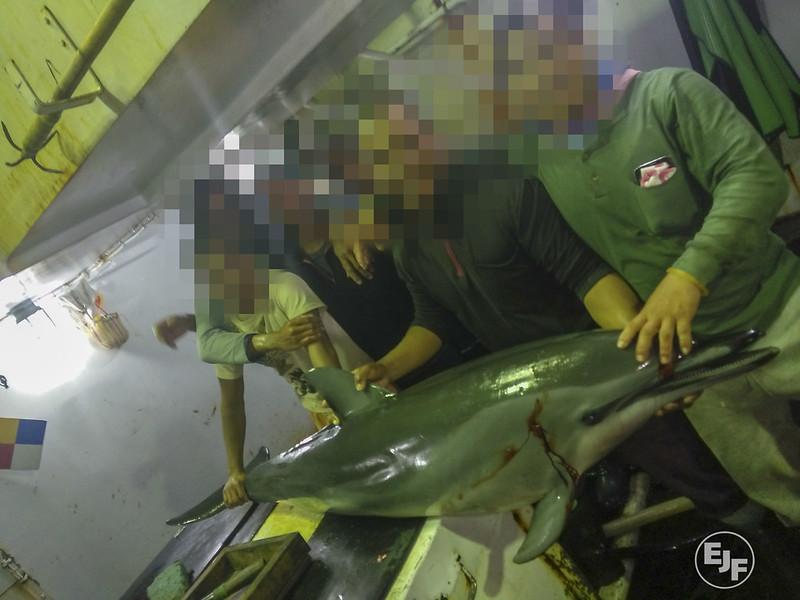 台灣延繩釣漁船非法捕抓海豚。照片提供:環境正義基金會(Environmental Justice Foundation, EJF)