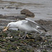 Herring Gull, Dinner Success At Last