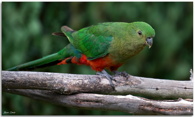 Young Male king Parrot