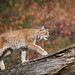 Lynx walking over a log