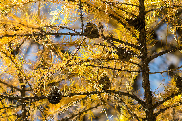 Almaty: autumn larch