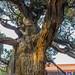 Пекин. Императорская академия Конфуция. Дерево, которому больше 700 лет