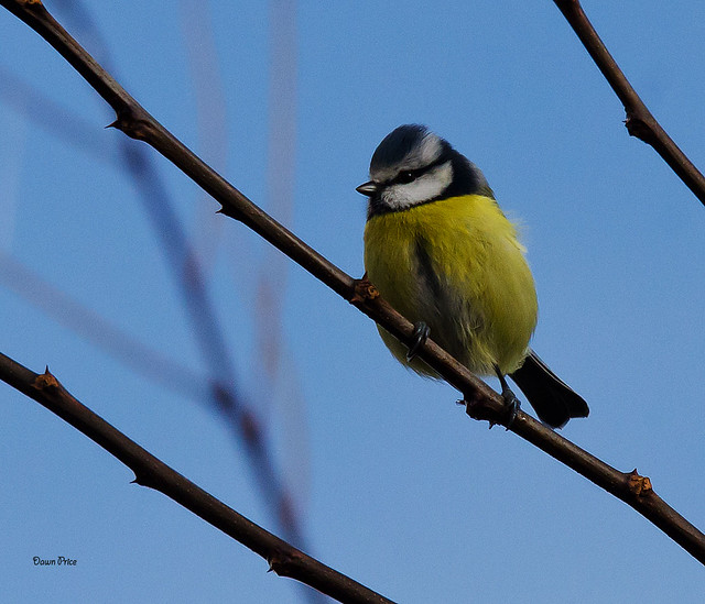 Bluetit in the tree, Nikon D7000, Sigma 150-500mm F5-6.3 DG OS APO HSM