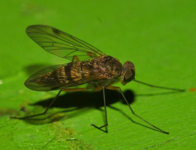 Whitsundays Fine fur Hairy lip fly 7mm long Diptera P1450791