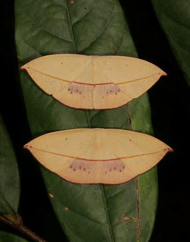 Uraniid Moths (Paradecetia or Brachydecetia sp., Auzeinae, Uraniidae)