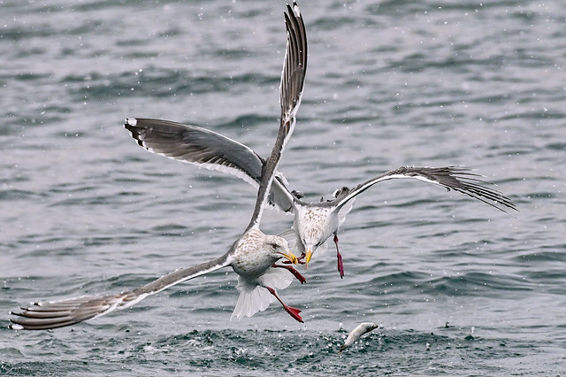s 20192101_Sea Gulls fighting for fish_DSC_9004