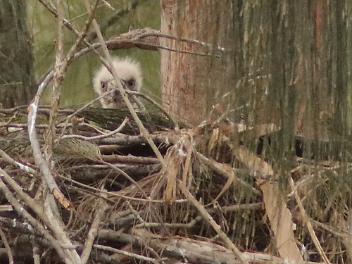 Bald Eagle eaglet 1046AM-2-20190131