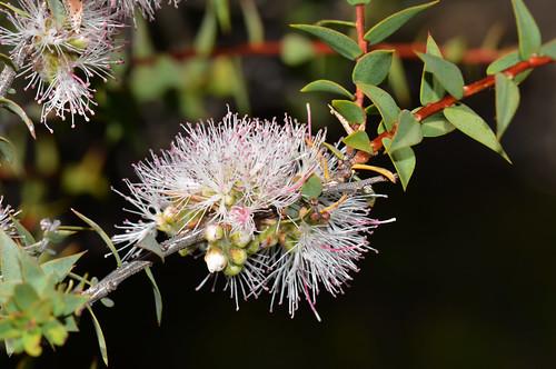 Melaleuca marginata