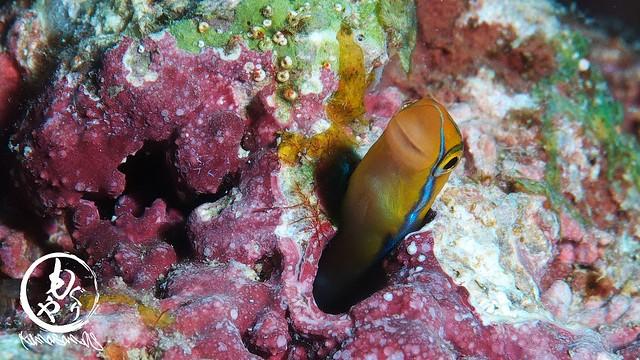 ミナミギンポ幼魚ちゃん♪