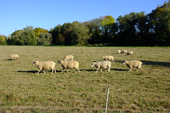 Sheep in file - Photo of Vieux-Lixheim