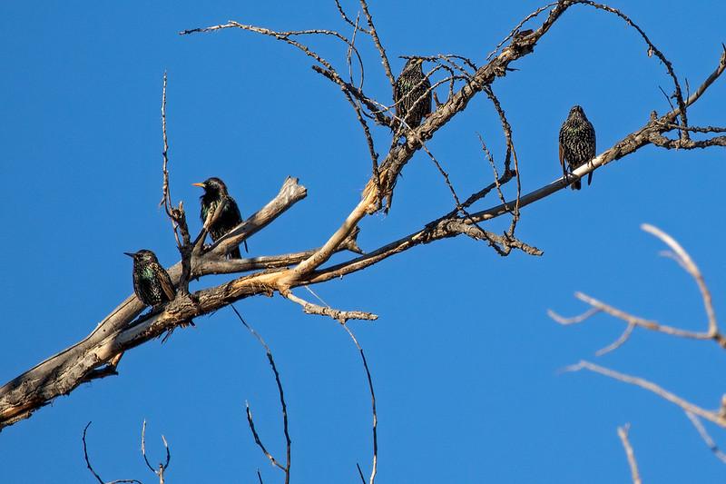 Starlings-2-7D2-122018