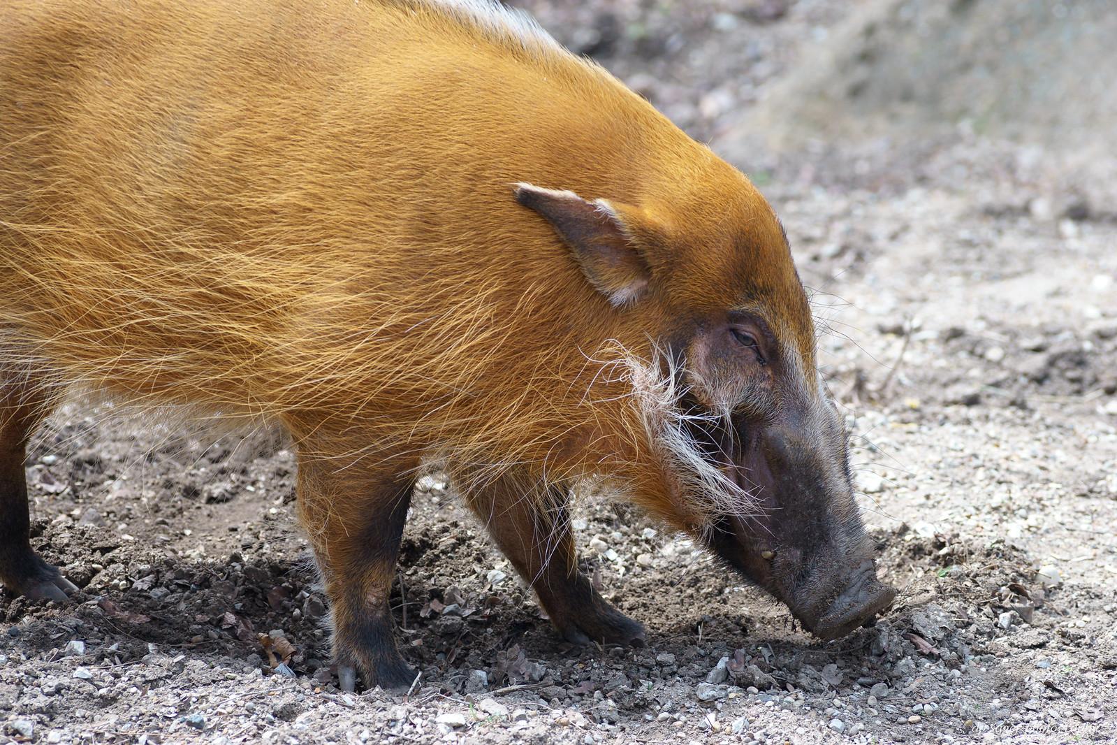 R Hogs Red River Hog
