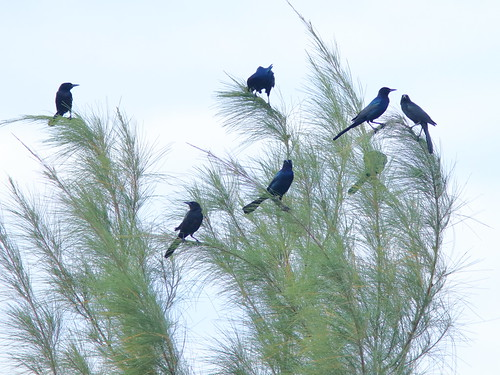 Boat-tailed Grackles 20181117