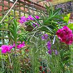 Atlanta Botanical Garden, Orchids on a Trellis, Atlanta, GA (35 of 36)