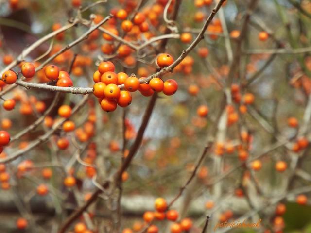 Orange Berries, Fujifilm FinePix S8200