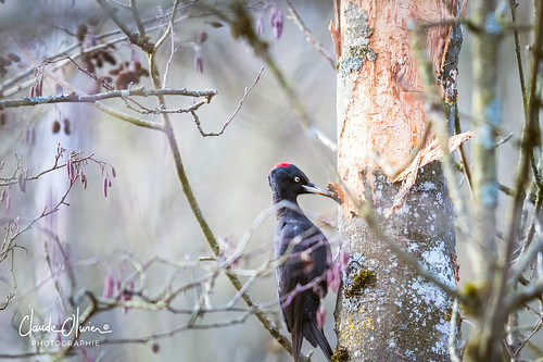 Pic noir, Black woodpecker (Dryocopus martius)