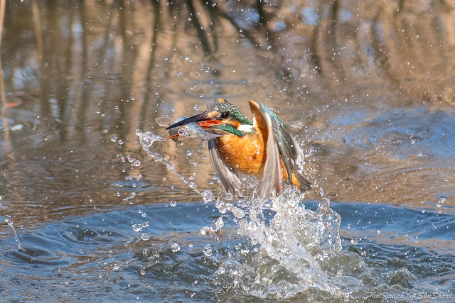 20190203-kingfisher-DSC_0961