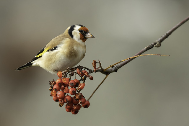Goldfinch on Rowan berries