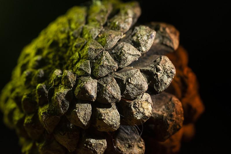 Dragon Pine Cone