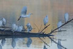 Héron garde-boeufs - Garda-buòu - Western cattle egret