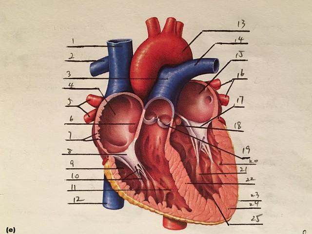 Heart Anatomy Quiz 3