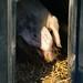 Reclusive boar, Northycote Farm