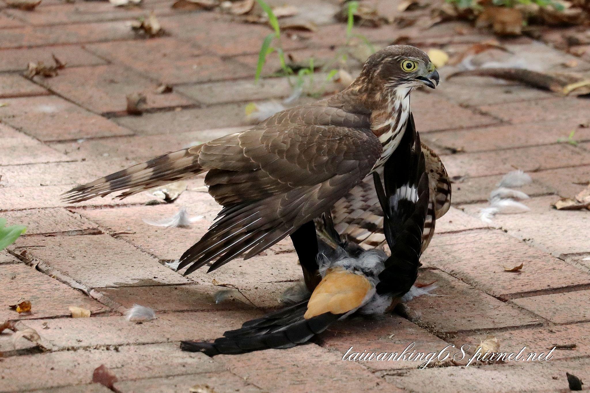 鳳頭蒼鷹與樹鵲
