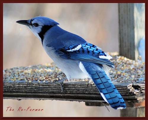 2018-12.birds.bluejay1