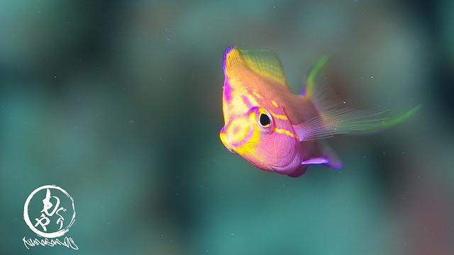 ハナゴンベ幼魚ちゃん♪ 正面顔がなかなかとれない。。