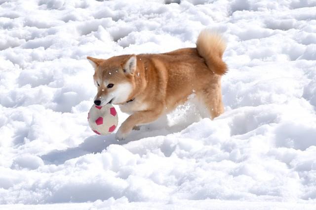 寒さに強い犬