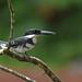 Green Kingfisher by Digital Plume Hunter